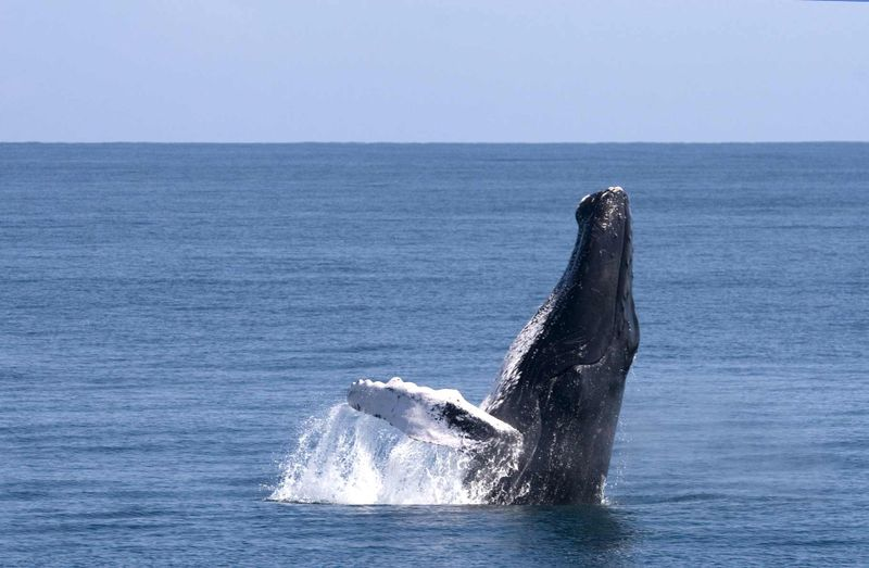 Humpback-Whales-lres