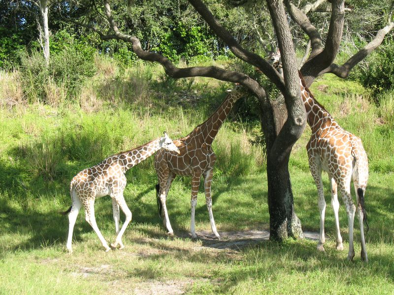 Disney's Animal Kingdom Park Orlando Giraffes on Safari
